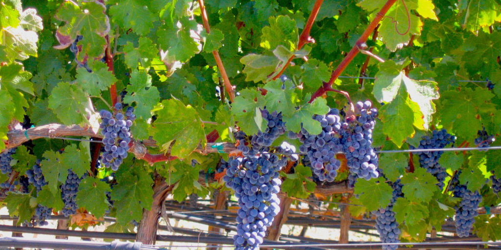 Napa Grapes ready for harvest